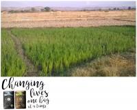 ricegrowing02